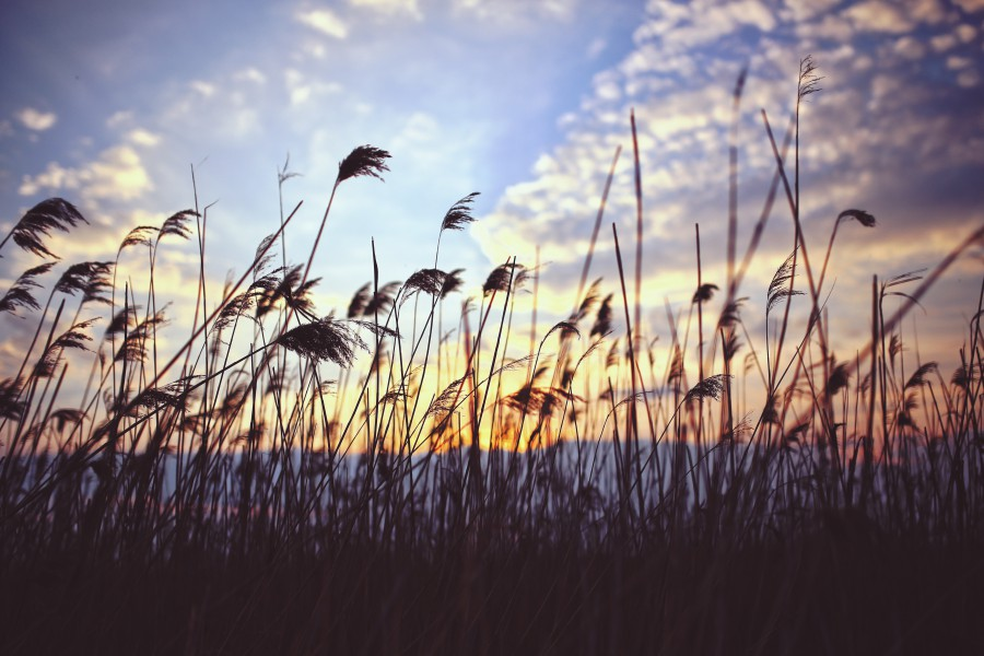 kaboompics.com_Phragmites by sunset